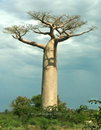 Baobab (Morondava-Madagascar)