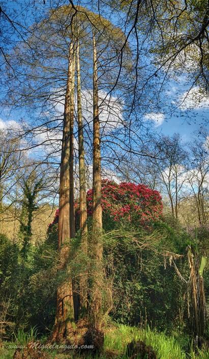 Métaséquoias et rhododendrons